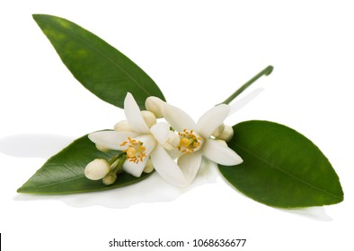 Blossom of orange or tangerine tree with leaves, flowers and buds isolated on white background.