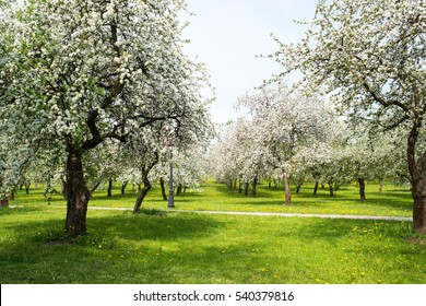 Blossom orchard
