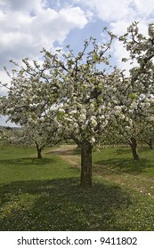 Blossom orchard of apple trees in spring time