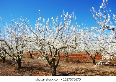 Blossom orchard at south of Portugal