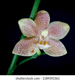 Blossom of an orchid with black background