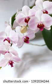 Blossom Orchid on the white background