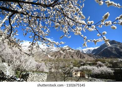 blossom in Pakistan along Karakorum mountain , at upper Hunza valley