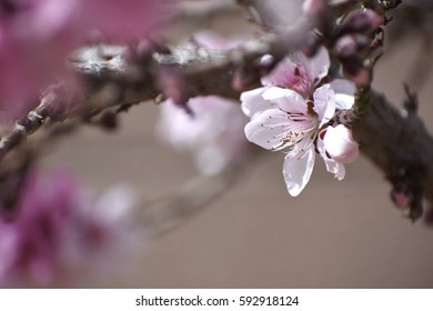 blossom of peach tree
