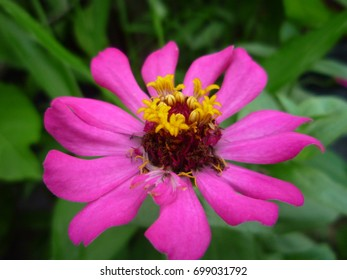 The blossom pink flower cheers up in the dry season.