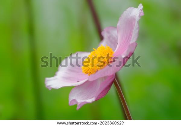 blossom-pink-japanese-anemone-eriocapite