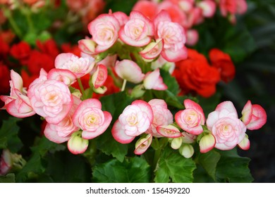 Blossom pink and red begonia in the pots.