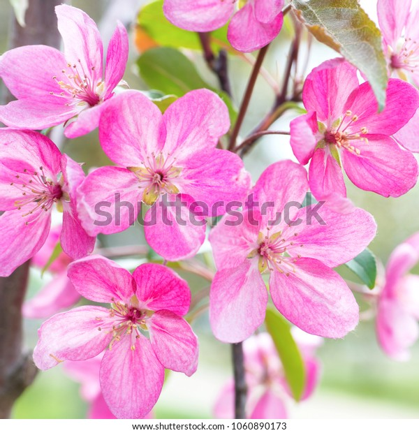Blossom of pink sakura flowers on a spring tree branch in a park. Macro close up shot