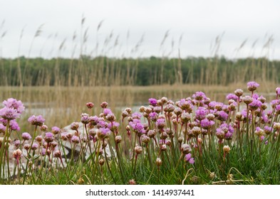 Blossom pink Thrift flowers, Armeria maritima,  closeup from the island Oland in Sweden