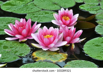 Blossom pink waterlily in pond