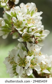 blossom of plum