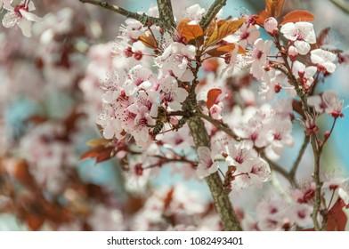 Blossom plum tree