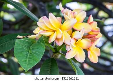 Blossom plumeria tree, tropical flowers Madeira, Portugal.