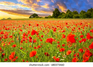 Blossom poppy flowers on the meadow at sunset