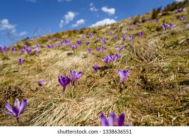 Blossom of purple crocuses at spring in the Alps mountains