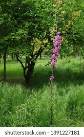 Blossom of purple Eastern Redbud. Flowering branch of the Judas-tree