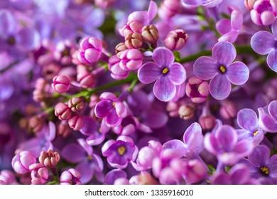blossom of purple lilac