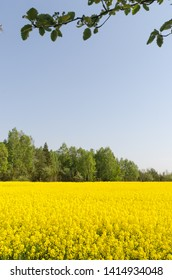 Blossom rape seed field by a cloudless blue sky at the swedish island Oland