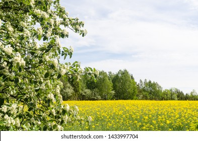 Blossom rapefield field with green and white branches