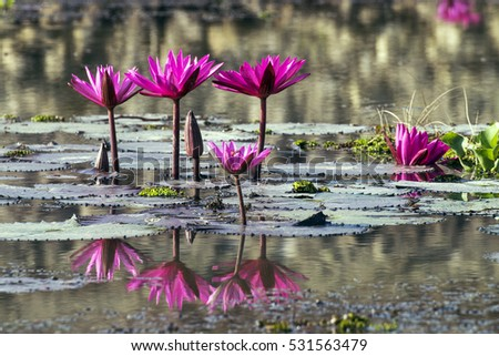 Blossom Red Lotus Flower Water Lily Stock Photo Edit Now 531563479