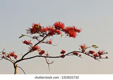 Imágenes, fotos de stock y vectores sobre Bombax Ceiba | Shutterstock