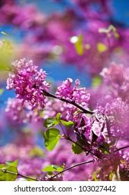 blossom redbud tree on sky