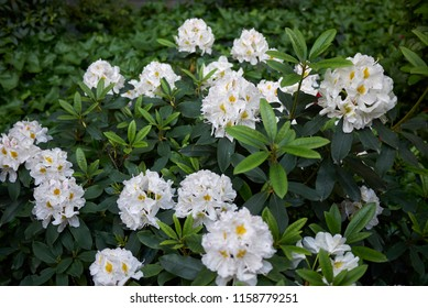 blossom of Rhododendron shrub