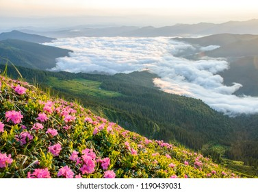 Blossom of rhodonendrons on foreground and dramatic fog on background in Ukrainian Carpathians