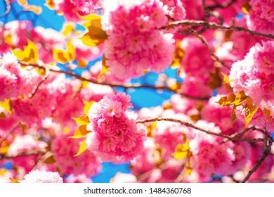 Blossom. Sacura cherry-tree. Beautiful nature scene with blooming tree and sunny day. Sakura Festival