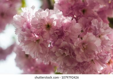 Blossom Sacura flowers