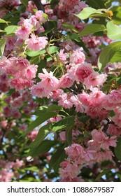 Blossom sacura tree over nature background