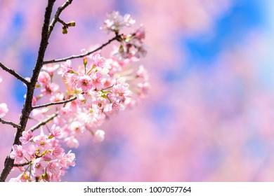 Blossom sakura flower  in spring