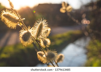 Blossom of a sallow willow. Close-up of the blossom in nature with light of the sunset