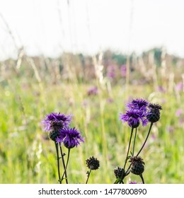Blossom Scabiosa flowers close up  in a bright sunlit field
