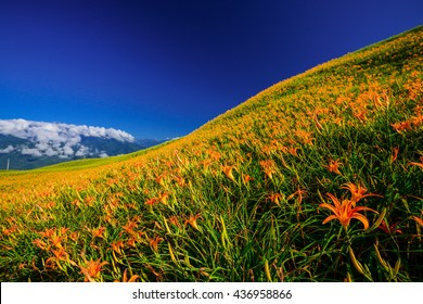 Blossom season of daylily in  Liushidan Mountain, Fuli, Hualien, Taiwan