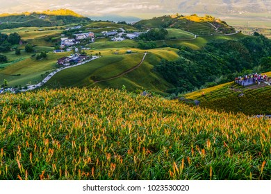 Blossom Season And The Harvest of Daylily on the Hill of East Rift Valley, Liushidan Mountain, Fuli, Hualien, Taiwan