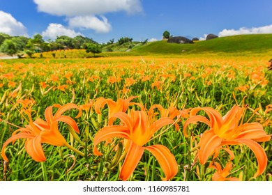 Blossom Season Of Tiger Lilies (Daylily) With Beautiful Blue Sky On The Garden Hill Of Chi Ke Shan (Chike Shan), Yuli, Hualien, Taiwan