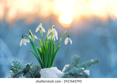 Blossom snowdrops flowers in snow. Beautiful spring nature background. early spring season concept. gentle white snowdrops