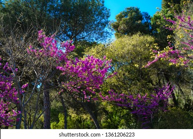 Blossom spring trees. Beautiful blooming garden with pink, fuchsia, purple flowers. Spring on mountian Montjuic, Barselona, Spain. Colorful bright photo for nature calendar, poster, print, cover