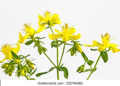 Blossom of St John's wort, Hypericum