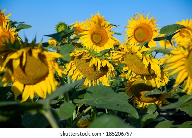 Blossom sunflower field with blue sky