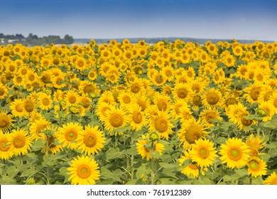 Blossom of sunflowers, beautiful sunflowers field, Ukraine panorama