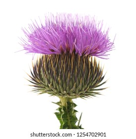 Blossom of thistle with thorns isolated on white background.