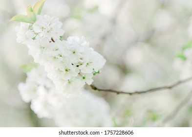 Blossom tree flowers petals soft white