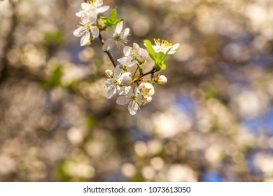 Blossom tree over nature background. Spring background