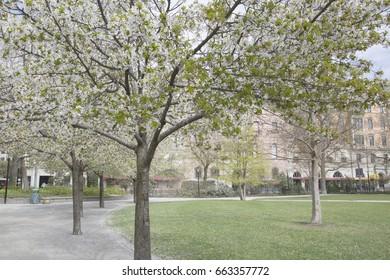 Blossom in Tree in Park, Stockholm, Sweden