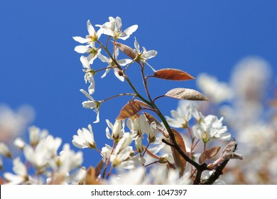 blossom tree in spring-shallow DOF