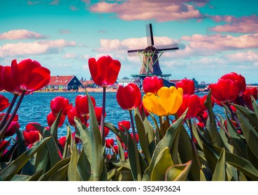 Blossom tulips in the Dutch village with famous windmills. Spring sunny morning on the Netherlands canals. Instagram toning.
