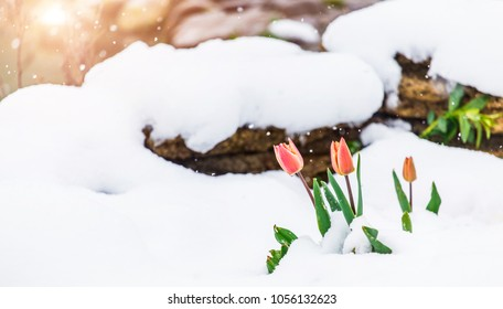 Blossom tulips over nature background. Beautiful nature scene with blooming tree, sun and snow. Easter Sunny day. Spring flowers. Springtime. Selective focus