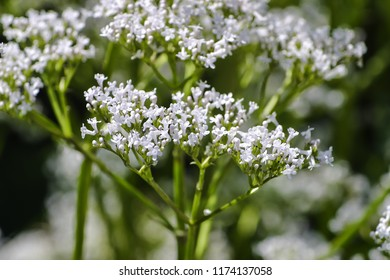 Blossom of valerian, Valeriana officinalis, true medicinal valerian, Bavaria, Germany, Europe